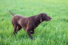 Ένα νέο μυϊκό καφετί σκυλί κυνηγιού στέκεται σε ένα σημείο στον τομέα μεταξύ της πράσινης χλόης Θερμό ημερησίως άνοιξη Στοκ Φωτογραφίες