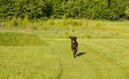 Ένα νέο μυϊκό καφετί σκυλί κυνηγιού τρέχει σε ένα σημείο στον τομέα μεταξύ της πράσινης χλόης Θερμό ημερησίως άνοιξη γερμανικά Στοκ εικόνες με δικαίωμα ελεύθερης χρήσης