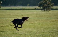 Ένα νέο μυϊκό καφετί σκυλί κυνηγιού τρέχει σε ένα σημείο στον τομέα μεταξύ της πράσινης χλόης Θερμό ημερησίως άνοιξη γερμανικά Στοκ Φωτογραφία