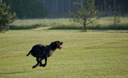 Ένα νέο μυϊκό καφετί σκυλί κυνηγιού τρέχει σε ένα σημείο στον τομέα Γερμανικός μακρυμάλλης δείκτης Στοκ φωτογραφία με δικαίωμα ελεύθερης χρήσης