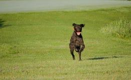 Ένα νέο μυϊκό καφετί σκυλί κυνηγιού τρέχει στον τομέα μεταξύ της πράσινης χλόης Θερμό ημερησίως άνοιξη Γερμανικός μακρυμάλλης Στοκ εικόνες με δικαίωμα ελεύθερης χρήσης
