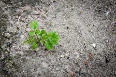 Ένα νέο νέο φυτό αρχής αυξάνεται σε ένα ξηρό χώμα Στοκ Φωτογραφία
