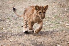 Ένα νέο παιχνίδι λιονταριών Στοκ Εικόνες