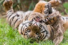 Ένα νέο παιχνίδι τιγρών με το σχοινί στο ζωολογικό κήπο του Τσέστερ Στοκ φωτογραφία με δικαίωμα ελεύθερης χρήσης