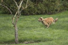 Ένα νέο χρυσό να τρέξει γρήγορα σκυλιών Στοκ φωτογραφίες με δικαίωμα ελεύθερης χρήσης