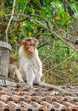 Ένα νεανικό καπό Macaque - ινδικός πίθηκος - συνεδρίαση στα κεραμίδια αργίλου με το δάσος στο υπόβαθρο Στοκ φωτογραφία με δικαίωμα ελεύθερης χρήσης