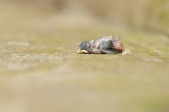 Ένα νεκρό μωρό Robin Στοκ φωτογραφία με δικαίωμα ελεύθερης χρήσης