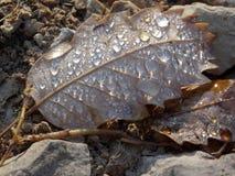 Ένα νεκρό φύλλο που φέρνει τα σταγονίδια του νερού Στοκ Εικόνες