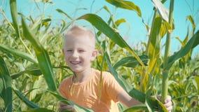 Ένα ξανθό αγόρι σε μια πορτοκαλιά μπλούζα παίζει cornfield, ένα παιδί κρύβει μέσα πίσω από τους μίσχους καλαμποκιού απόθεμα βίντεο