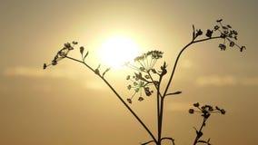 Ένα ξηρό μάραθο βλέπει στις ακτίνες ενός θαυμάσιου ηλιοβασιλέματος το καλοκαίρι φιλμ μικρού μήκους