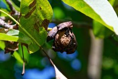 Ένα ξύλο καρυδιάς που αυξάνεται ακόμα στο δέντρο στοκ εικόνα με δικαίωμα ελεύθερης χρήσης