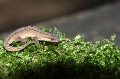 Ένα ομαλό Newt γνωστό επίσης ως κοινό vulgaris κυνήγι Newt Lissotriton στο βρύο Στοκ Εικόνες
