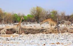 Ένα δονούμενο waterhole με Giraffe, με ραβδώσεις, Kudu Στοκ φωτογραφία με δικαίωμα ελεύθερης χρήσης