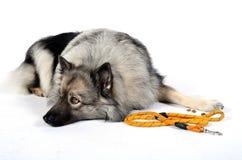 Ένα λουρί σκυλιών Στοκ Εικόνες