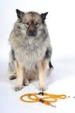 Ένα λουρί σκυλιών Στοκ Εικόνα