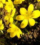 Ένα λουλούδι άνοιξη Στοκ Εικόνες