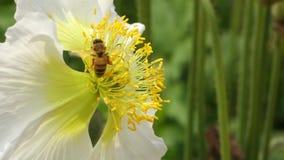 Ένα λουλούδι άσπρων παπαρουνών με τη μέλισσα απόθεμα βίντεο
