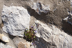 Ένα λουλούδι αγωνίζεται στην περιτοιχισμένη πόλη Dubrovnic στην Κροατία Ευρώπη Το Dubrovnik παρονομάζεται το μαργαριτάρι ` της Αδ Στοκ φωτογραφία με δικαίωμα ελεύθερης χρήσης