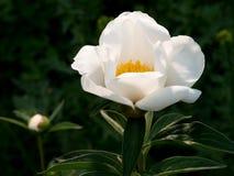 Ένα λουλούδι ενός λευκού peony Στοκ Εικόνα