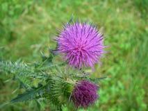 Ένα λουλούδι ενός κάρδου στοκ εικόνα