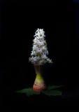 Ένα λουλούδι κάστανων σε ένα κηροπήγιο, όπως ένα κερί, σε ένα μαύρο υπόβαθρο Στοκ Εικόνα