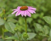 Ένα λουλούδι κώνων Στοκ εικόνες με δικαίωμα ελεύθερης χρήσης