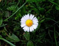 Ένα λουλούδι μαργαριτών Στοκ εικόνα με δικαίωμα ελεύθερης χρήσης