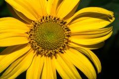 Ένα λουλούδι με τα μακριά κίτρινα πέταλα Σε μια σκοτεινή ανασκόπηση Μακροεντολή Στοκ Εικόνες