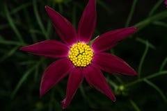 Ένα λουλούδι με τα μακριά burgundy πέταλα και έναν φωτεινό κίτρινο πυρήνα Σε μια σκοτεινή ανασκόπηση Μακροεντολή Στοκ φωτογραφία με δικαίωμα ελεύθερης χρήσης
