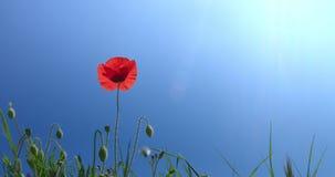 Ένα λουλούδι παπαρουνών στο βαθύ υπόβαθρο ουρανού με το φως περιγράμματος απόθεμα βίντεο