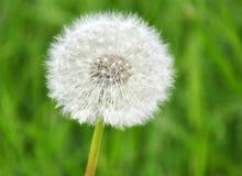Ένα λουλούδι πικραλίδων που αποτελείται από το πολυάριθμο κεφάλι σπόρου Στοκ φωτογραφία με δικαίωμα ελεύθερης χρήσης