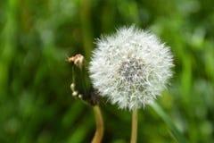 Ένα λουλούδι πικραλίδων Στοκ Φωτογραφίες