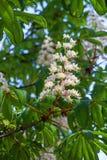 Ένα λουλούδι του άσπρου κάστανου Στοκ φωτογραφία με δικαίωμα ελεύθερης χρήσης