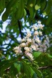 Ένα λουλούδι του άσπρου chestnu Στοκ φωτογραφίες με δικαίωμα ελεύθερης χρήσης
