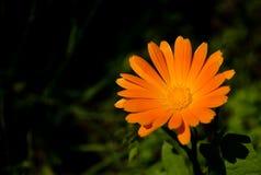 Ένα λουλούδι του calendula στη φύση Στοκ εικόνα με δικαίωμα ελεύθερης χρήσης