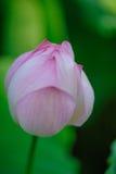 Lotus που αρχίζει να ανθίζει Στοκ Φωτογραφίες