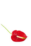 Ένα λουλούδι Anturie Στοκ Φωτογραφίες