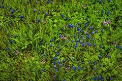 Ένα λουλούδι armeniacum muscari ή συνήθως γνωστός ως υάκινθος σταφυλιών στο α ο κήπος άνοιξη Στοκ Εικόνες