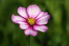 Ένα λουλούδι coreopsis στοκ εικόνα με δικαίωμα ελεύθερης χρήσης