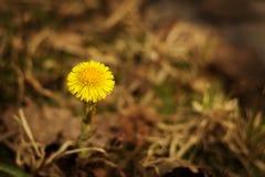 Ένα λουλούδι foalfoot στενό σε έναν επάνω λιβαδιών Στοκ Εικόνες
