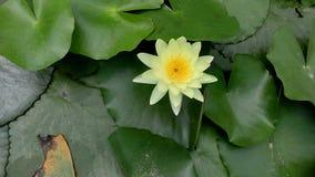 Ένα λουλούδι Lotus Στοκ Φωτογραφία