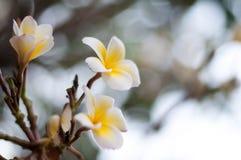 Ένα λουλούδι Plumeria Στοκ φωτογραφία με δικαίωμα ελεύθερης χρήσης