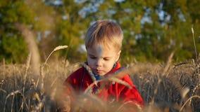 Ένα παιδί στέκεται σε έναν τομέα του σίτου Το αγόρι κρατά ένα αυτί του σίτου απόθεμα βίντεο