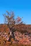 Ένα παλαιό δέντρο στο υπόβαθρο ενός φράκτη πετρών και ένα δάσος στα χρώματα φθινοπώρου Στοκ Φωτογραφίες