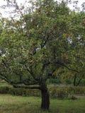Ένα παλαιό δέντρο της Apple στον κήπο Στοκ φωτογραφίες με δικαίωμα ελεύθερης χρήσης