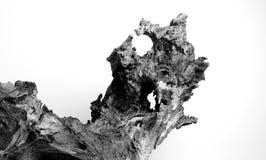 Ένα παλαιό κολόβωμα της ρίζας στοκ εικόνα