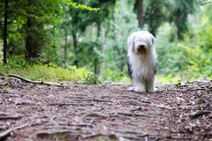 Ένα παλαιό τσοπανόσκυλο engish στο ξύλο στοκ εικόνα