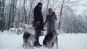 Ένα παντρεμένο ζευγάρι περπατά με τα huskies που κρατούν τα σε ένα λουρί σε ένα χειμερινό πάρκο Εύθυμα σκυλιά που έχουν τη διασκέ απόθεμα βίντεο