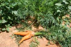 Ένα παράξενο καρότο, πράσινα φύλλα στο έδαφος την ηλιόλουστη ημέρα Τομέας καρότων κλείστε επάνω Τοπ όψη Στοκ εικόνες με δικαίωμα ελεύθερης χρήσης