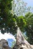Ένα παλαιό δέντρο σε Angkor Wat Στοκ Εικόνες